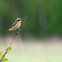 Whinchat In The Białowieża Forest, Poland
