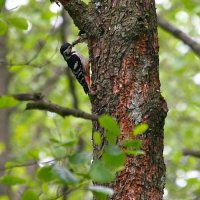 White-backed Woodpecker In The Biebrza Marshes, Poland