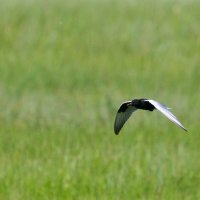 White-winged Terns In The Biebrza Marshes, Poland