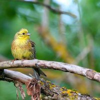 Yellowhammer In The Białowieża Forest, Poland