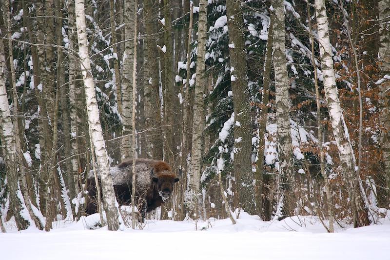Winter In The Białowieża Forest, Jan 2013
