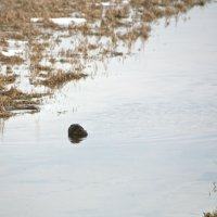 Beaver In The Biebrza Marshes In Winter, Poland