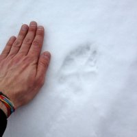 Wolf Print In The Białowieża Forest, Poland