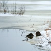 Beavers In The Winter Biebrza Marshes, Poland