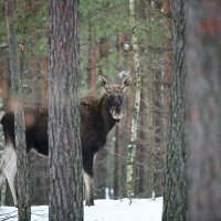 Elk/Moose In The Winter Biebrza Marshes, Poland