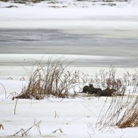 Otter In The Winter Biebrza Marshes, Poland