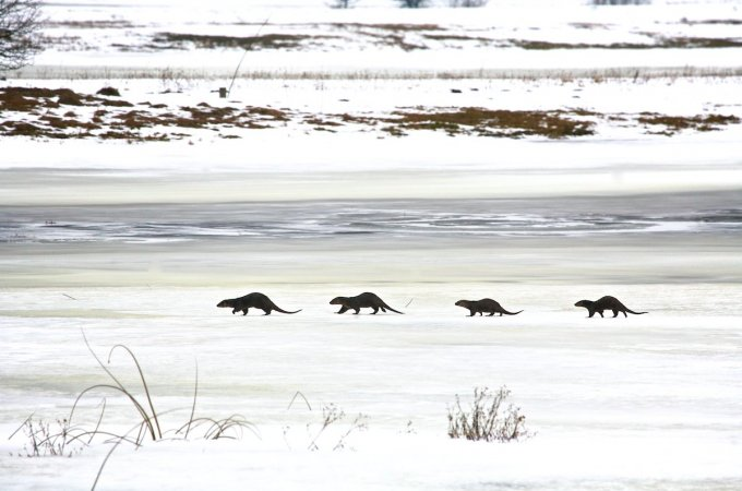Otters In The Winter Biebrza Marshes, Poland