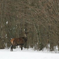 Red Deer Male In The Białowieża Forest, Poland