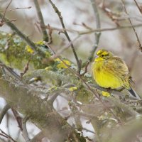 Yellowhammer In The Winter Białowieża Forest, Poland