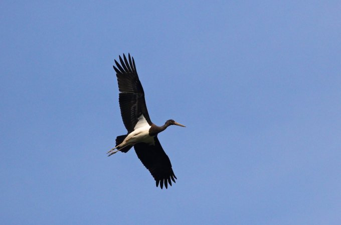 Black Stork In The Biebrza Marshes, Poland