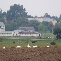 Whooper Swans In The Biebrza Marshes, Poland