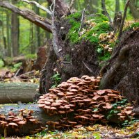 Honey Fungus, Armillaria Sp. In The Białowieża Forest, Poland