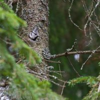 Crested Tit In The Białowieża Forest, Poland
