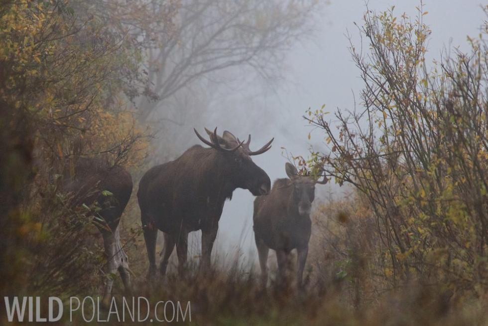 Private Bison & Elk Photo Safari, Oct 2013