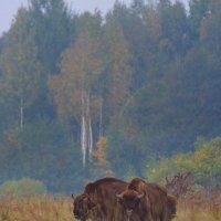 Wild European Bison In The Białowieża Forest, Poland