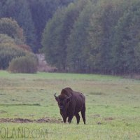 European Bison In The Bialowieza Forest, Poland