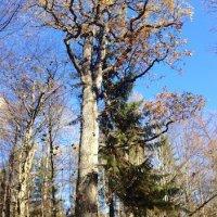 Old Oak Tree In The Białowieża Forest, Poland
