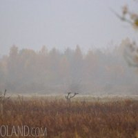 Red Deer In The Biebrza Marshes, Poland