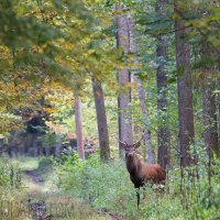 Red Deer In The Białowieża Forest, Poland