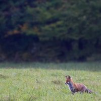 Red Fox In The Białowieża Forest, Poland