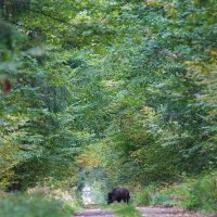 Wild Boar In The Białowieża Forest, Poland