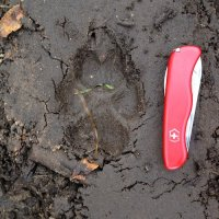 Wolf Print In The Biebrza Marshes, Poland