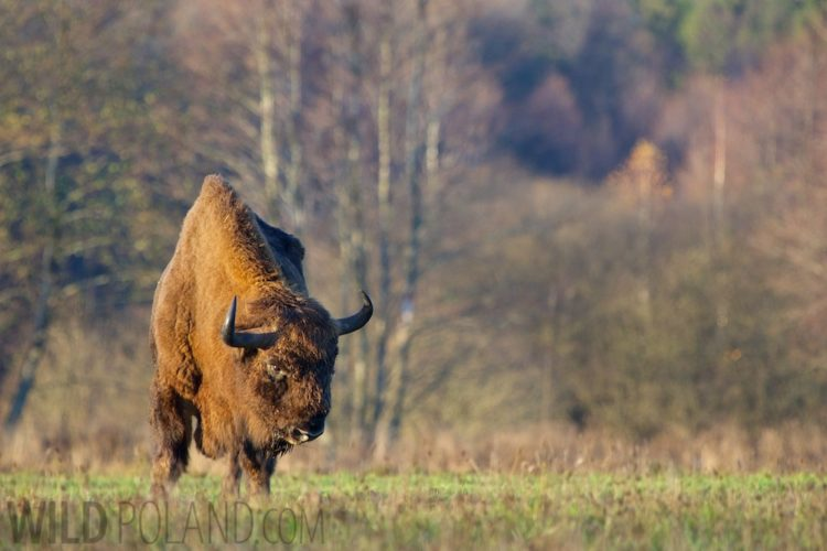 Wild European Bison Bull In The Białowieża Forest, Poland
