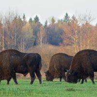 Wild European Bison Bulls In The Białowieża Forest, Poland