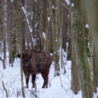 Bison Cow In The Białowieża Forest, Poland