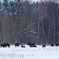 Wild European Bison Herd In The Białowieża Forest, Poland