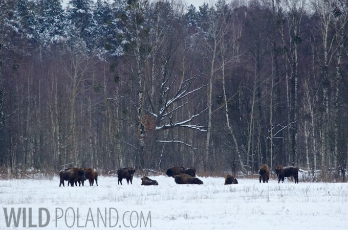 Wild European Bison Herd In The Białowieża Forest, Poland