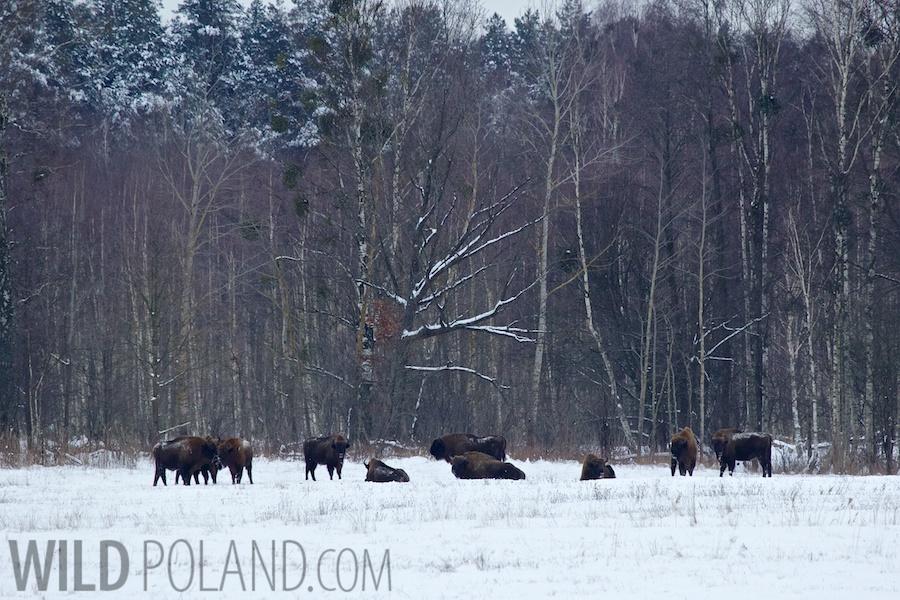 Winter Białowieża Forest & Biebrza Marshes, Jan 2014