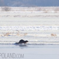 Wild Otter In The Biebrza Marshes