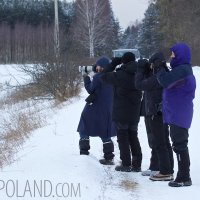 Photographing Wild European Bison In The Białowieża Forest, Poland