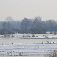 Whooper Swans In The Biebrza River