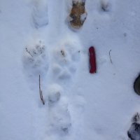 Pack Of Wolves Foot Prints In The Biebrza Marshes, Poland