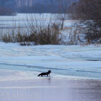 American Mink In The Biebrza Marshes  - Winter Landscape