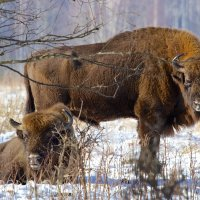 European Bison In The Białowieża Forest, Poland