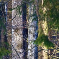 Black Woodpecker In The Bialowieza Forest, Poland