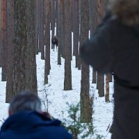 Photographing Elk In The Biebrza Marshes, Poland