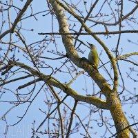 Grey-headed Woodpecker In The Biebrza Marshes, Poland