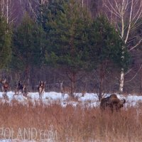 Bison And Red Deer In The Białowieża Forest, Poland