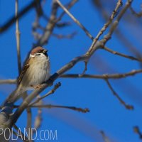 Tree Sparrow In The Biebrza Marshes, Poland