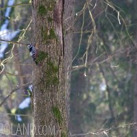 White-backed Woodpecker In The Białowieża National Park, Poland