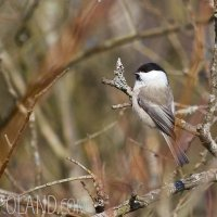 Willow Tit In The Biebrza Marshes, Poland