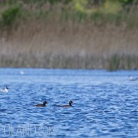 Black-necked Grebes In The Dojlidy Fishponds, Poland