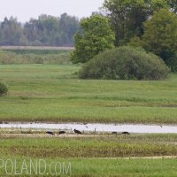 Black Storks Feeding In The Biebrza Marshes, Poland