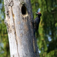 Nesting Black Woodpecker In The Biebrza Marshes, Poland
