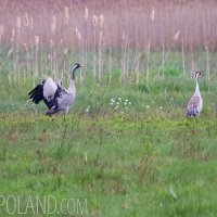 Cranes In The Białowieża Forest, Poland