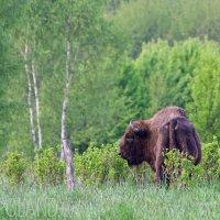 Wild European Bison Bull In The Białowieża Forest, Poland